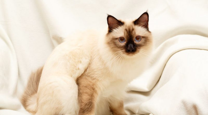 How to care for a Siamese Cat